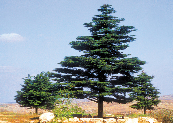 the famous lebanese cedar tree